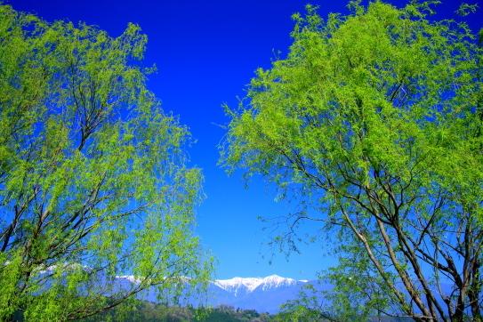 芽吹く柳と白銀の宝剣岳