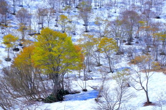 残雪に描かれたドット模様のブナ林