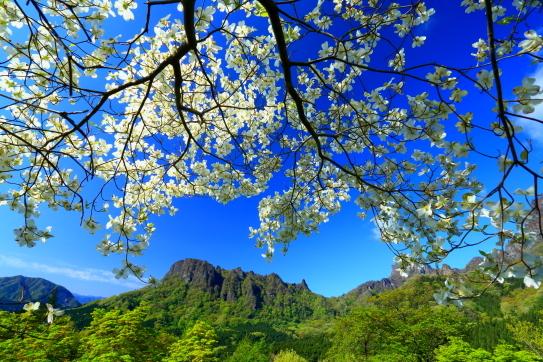 こぶし咲く妙義山
