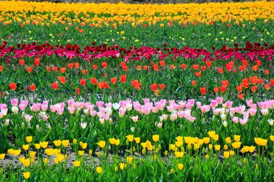 砺波市のチューリップ畑