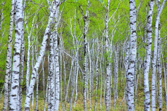 若葉まとう白樺の森