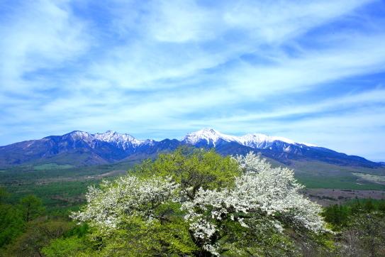 残雪の八ヶ岳とズミの巨木