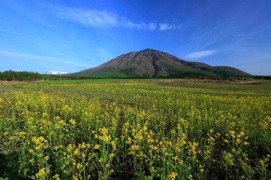 菜の花と黒姫山