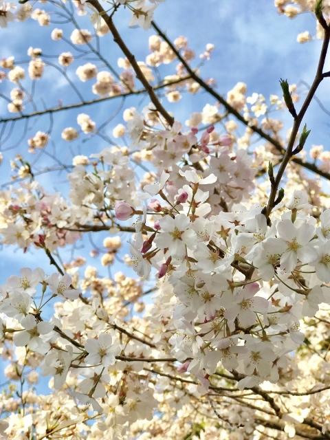 国立劇場の桜 ③