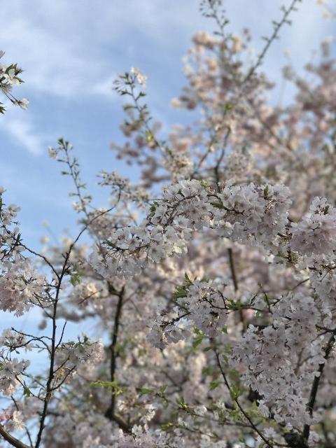 国立劇場の桜 ⑤