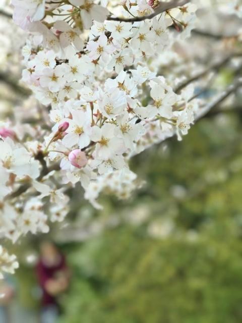 国立劇場の桜 ④