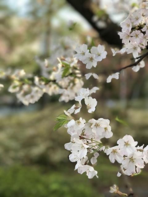 国立劇場の桜 ⑥