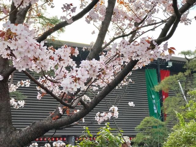 国立劇場の桜 ⑫