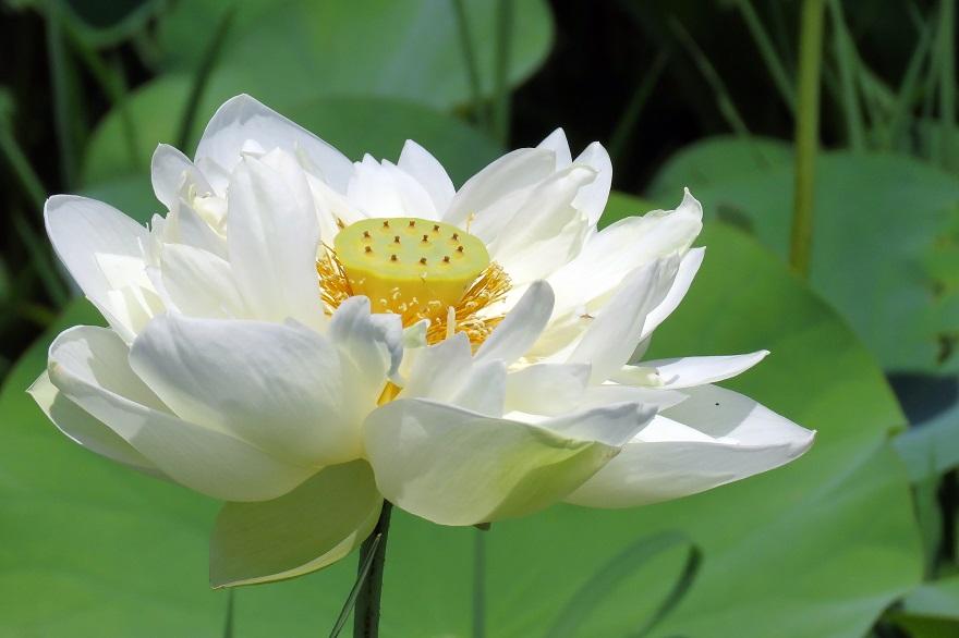 藤原京跡の花蓮 (10)