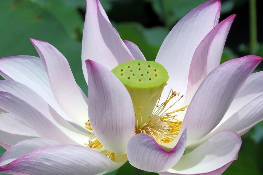 藤原京跡の花蓮 (9)