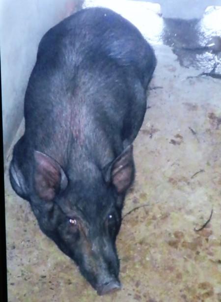 black pig (10)