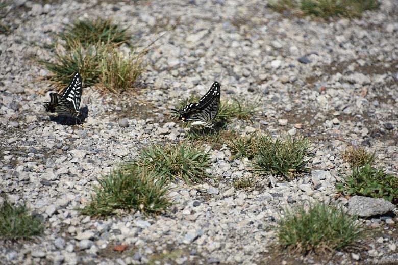 018 アゲハ蝶