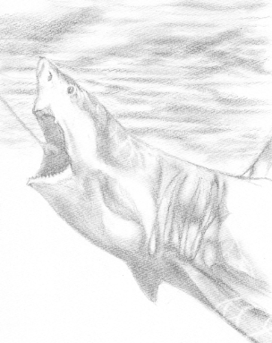 ホオジロザメ 鉛筆画