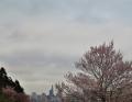 坂からの桜