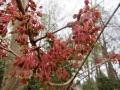 カジカエデの花
