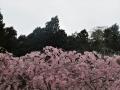 仙台紅枝垂と山