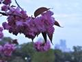 山裾の八重桜