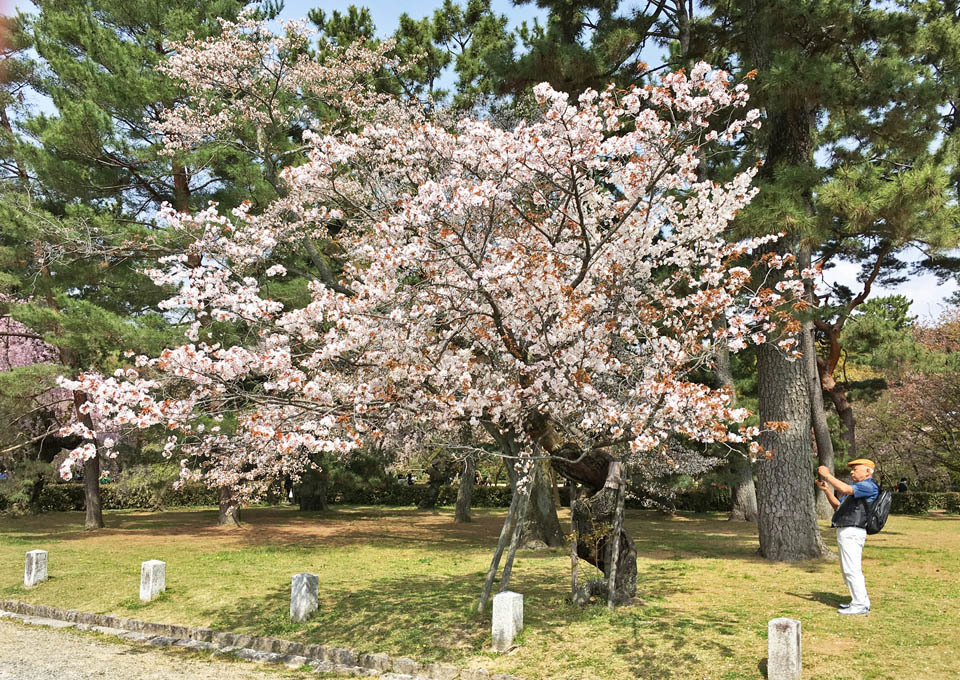 kawa-zakura_f0b.jpg