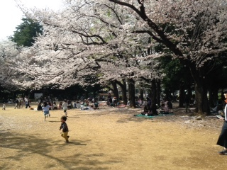 圭悟君世田谷公園の桜
