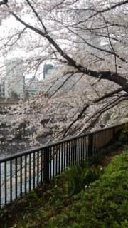 圭悟君目黒川の桜
