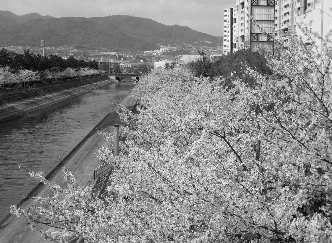 Cherry blossoms in Ashiya