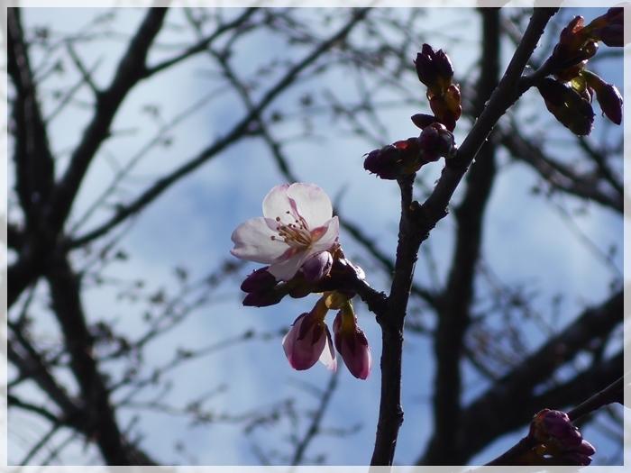 桜開花 2018年5月7日