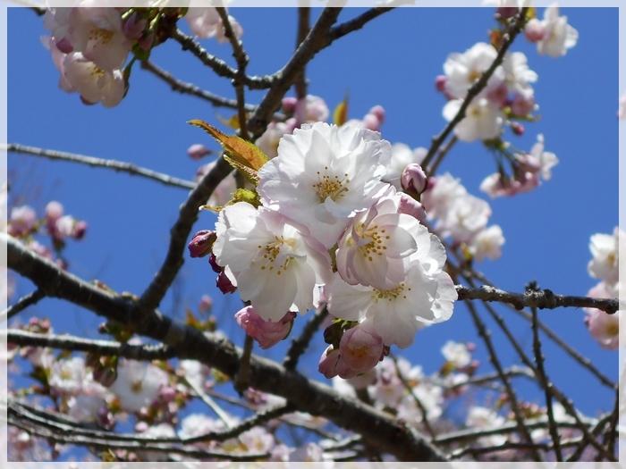 子野日公園 2018年5月 桜1