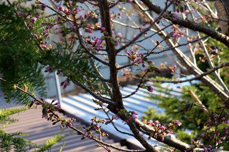 昨日の午後の桜