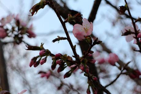 桜さいてきたよ