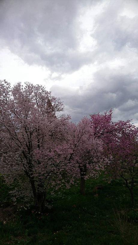 桜見に行った