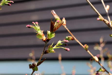 我が家の八重桜
