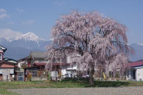 枝垂桜その1