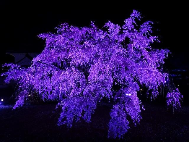 姫路城180404夜桜④
