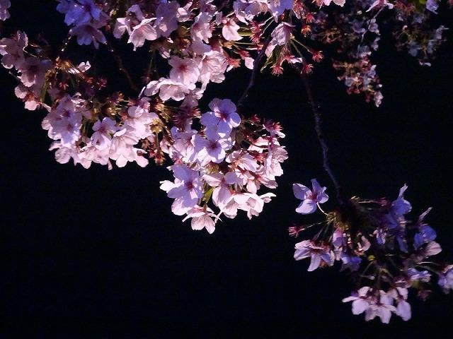 姫路城180404夜桜⑦