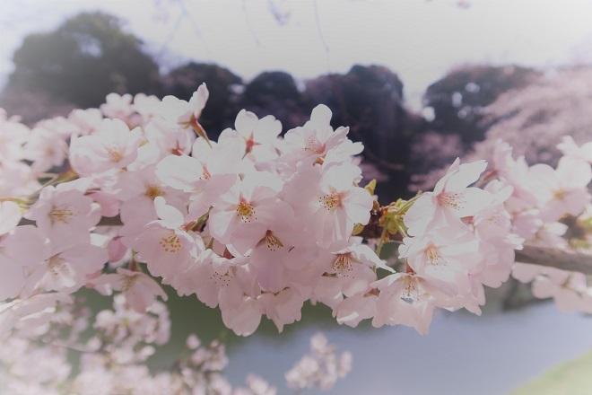 2018千鳥ヶ淵の桜(緑道側・その3)