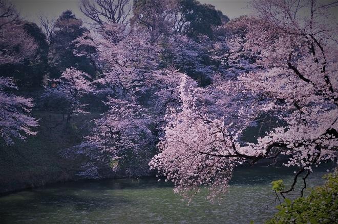 2018千鳥ヶ淵の桜(緑道側・その6)