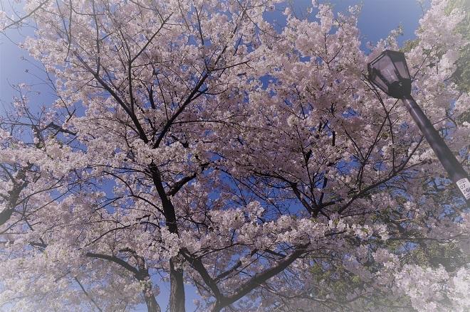 2018千鳥ヶ淵の桜(緑道側・その12)