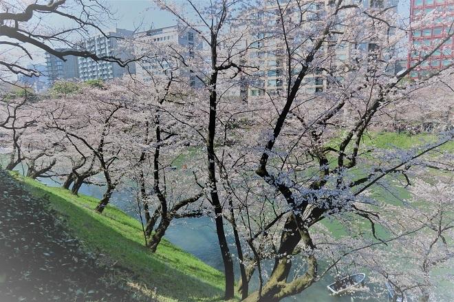 2018千鳥ヶ淵の桜(北の丸公園側・その7)