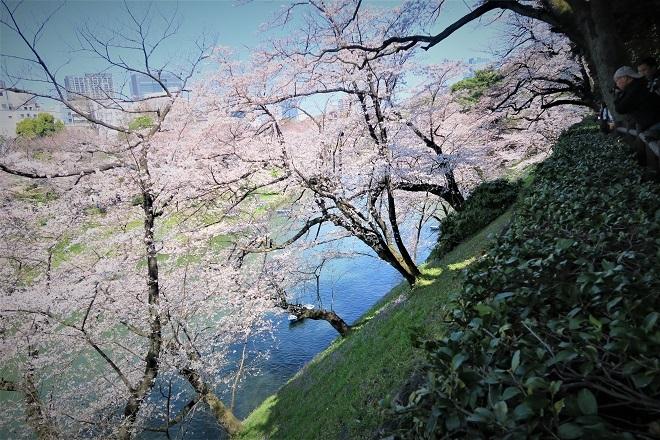 2018千鳥ヶ淵の桜(北の丸公園側・その8)