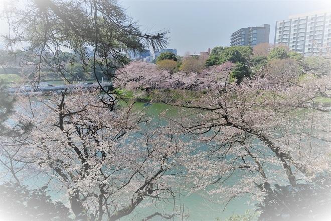 2018千鳥ヶ淵の桜(北の丸公園側・その11)