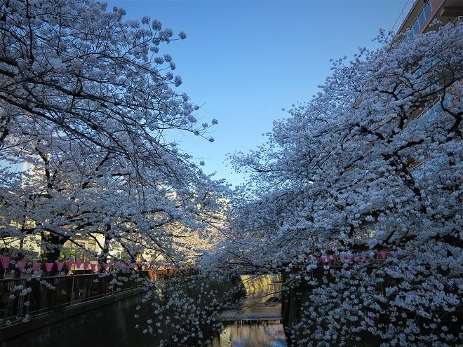 2018目黒川の桜(1)