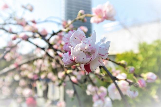 2018目黒川の桜(5)
