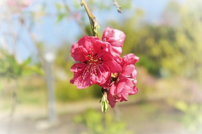 2018目黒川の桜(6)