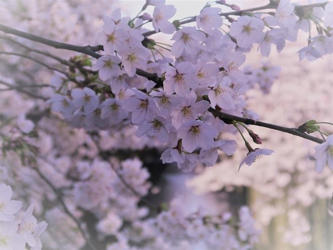 2018目黒川の桜(11)