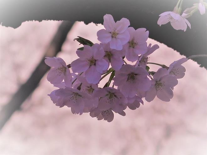 2018目黒川の桜(12)