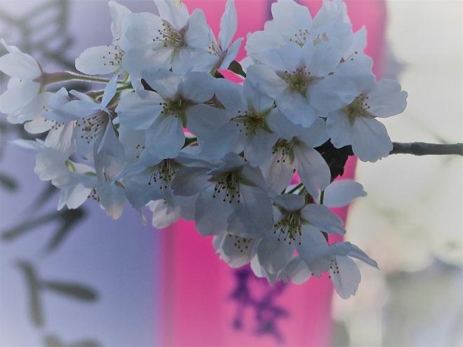2018目黒川の桜(13)