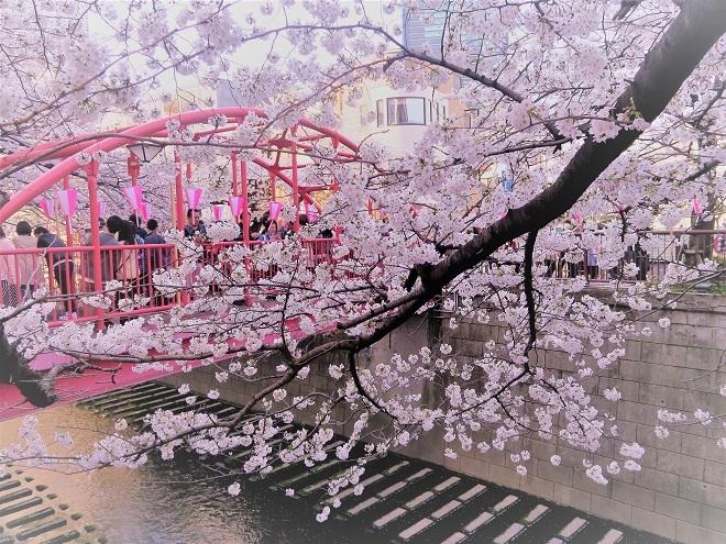 2018目黒川の桜(14)