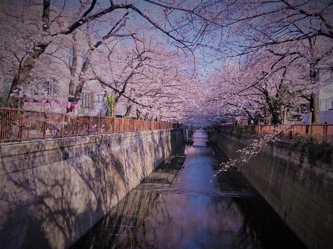 2018目黒川の桜(16)