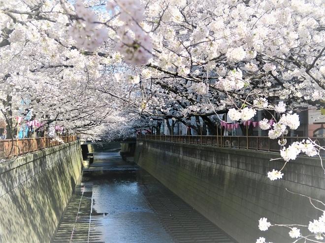 2018目黒川の桜(19)
