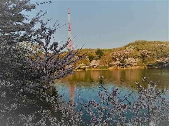 2018三ツ池公園の桜(4)